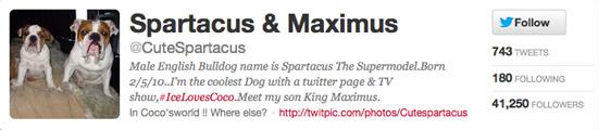 Spartacus the English Bulldog